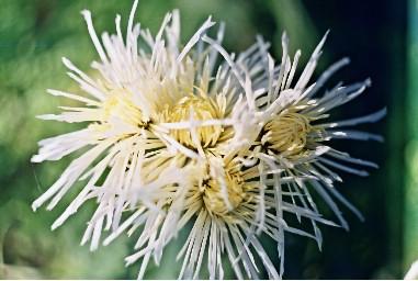 Хризантемы.Сорта.Уход и выращивание. 419853415